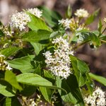 15 Beautiful White Flowering Shrubs