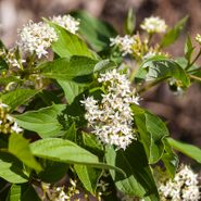 Cornusfiredancebailey white flowering shrub