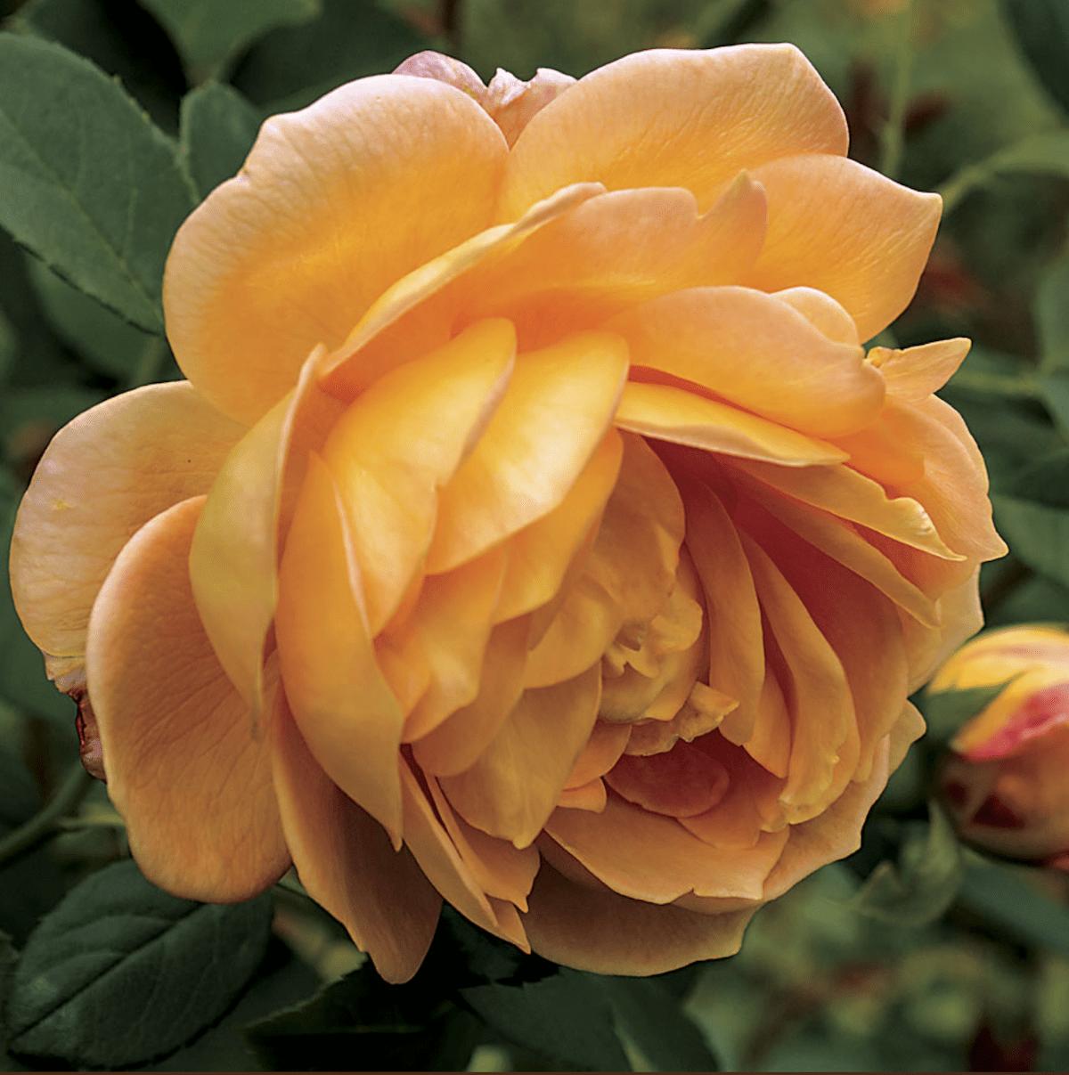 Honeyperfumerose