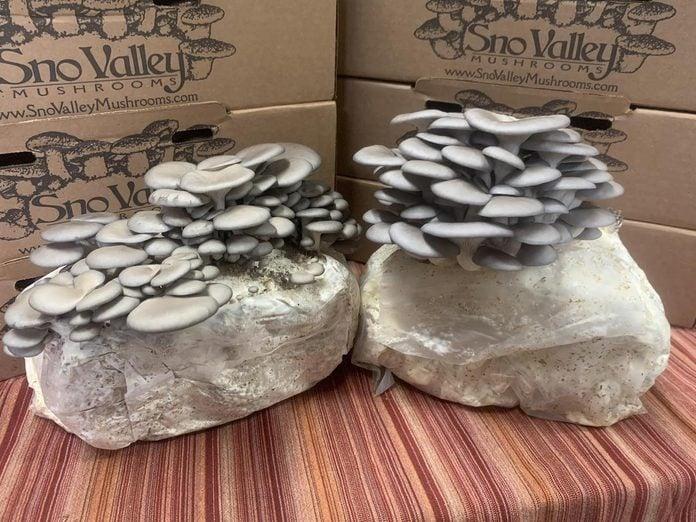 Blue Oyster Mushroom Growing Kit