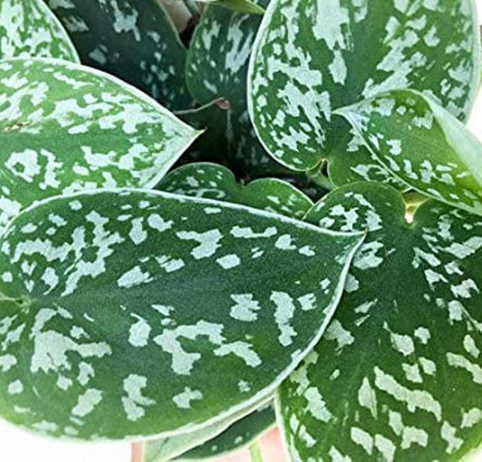 silver pothos plant