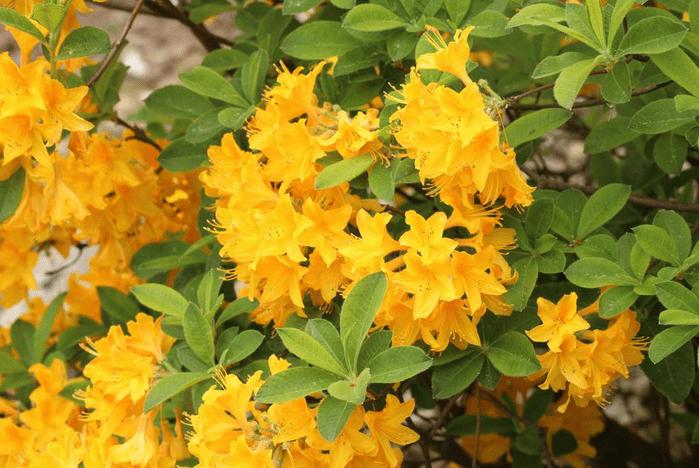 Lemonlightsazalea yellow flowering shrubs