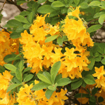 The Prettiest Yellow Flowering Shrubs for Your Yard