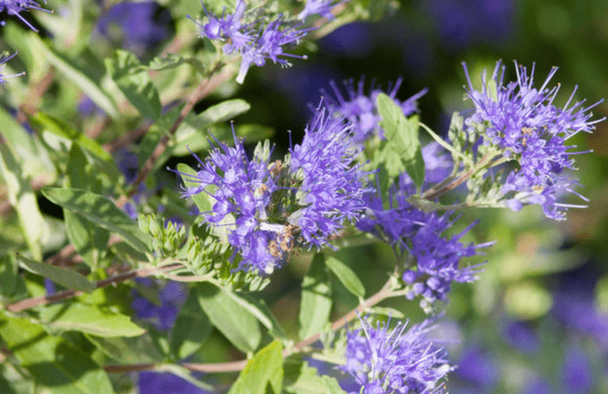 Sapphire Bluebeard small shrubs Bailey Nurseries