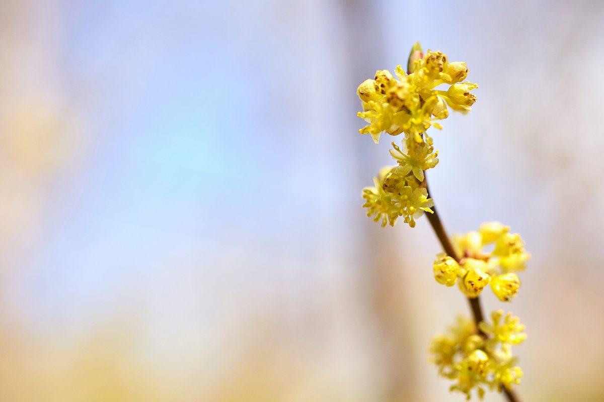 northern spice bush yellow flowering shrub