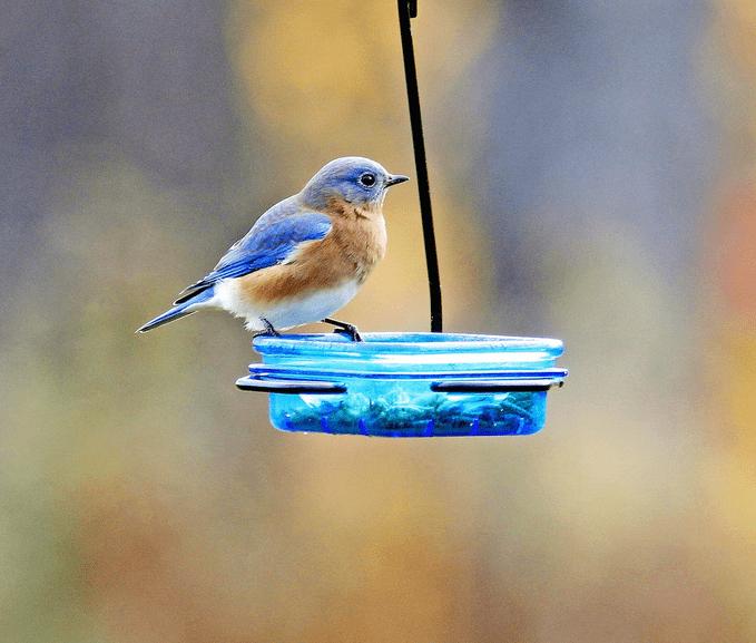 Stokes Bluebird Feeder