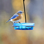 The Best Bluebird Feeders and Feeding Tips
