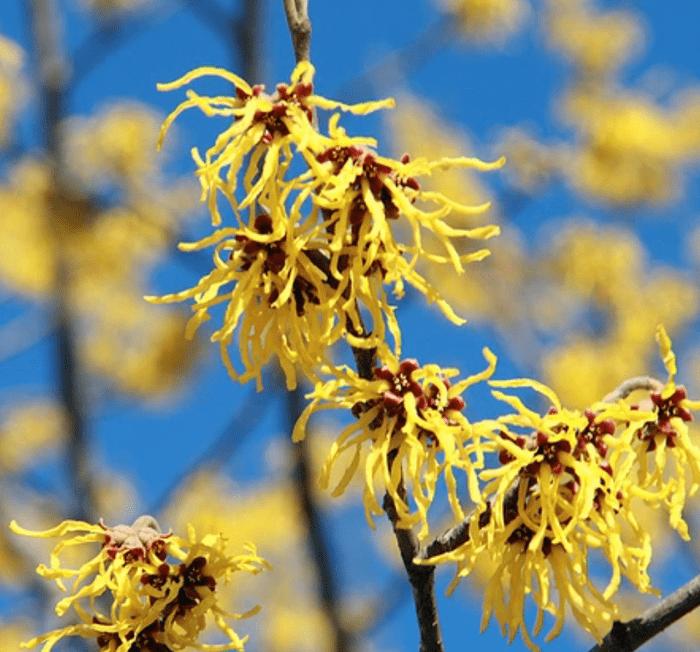 Witch hazel yellow flowering shrubs