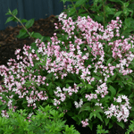 Pretty in Pink: 10 Shrubs With Pink Flowers