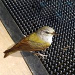 How to Identify a Tennessee Warbler