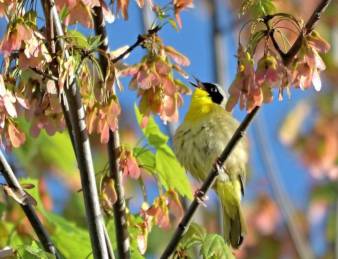 common yellowthroat song