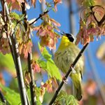 Look and Listen for Common Yellowthroats in Spring