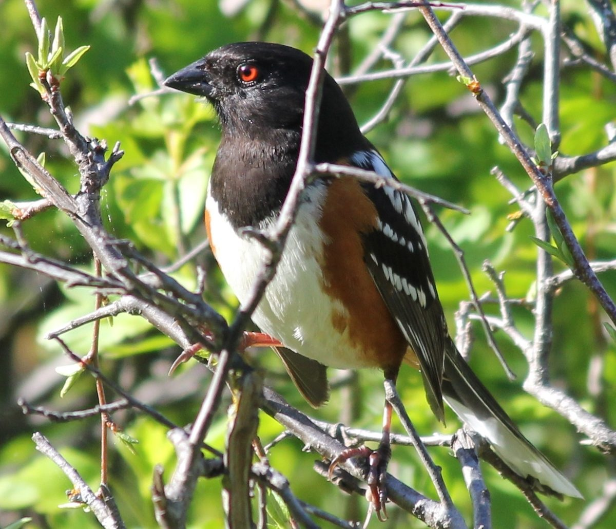 spotted towhee, birds that look like orioles