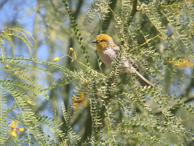 verdin, desert birds