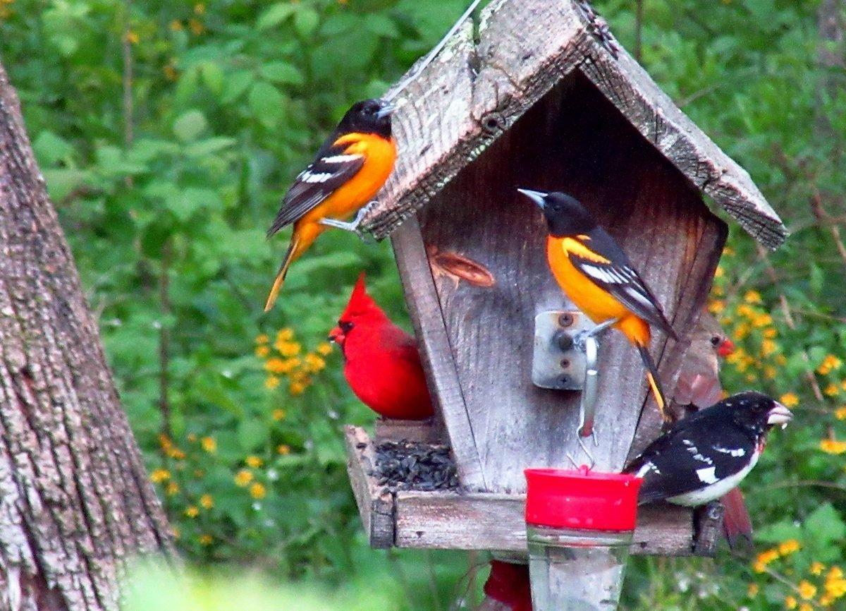 grosbeak orioles and cardinals