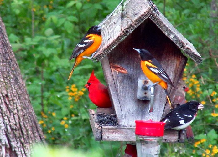 grosbeak orioles and cardinals