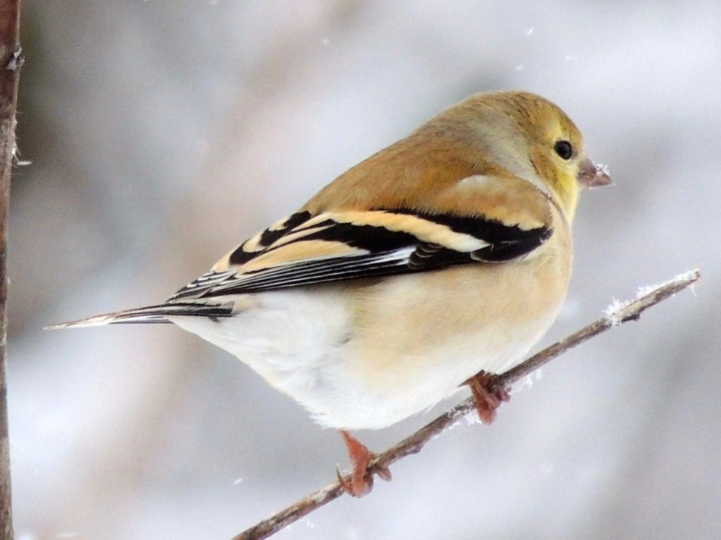 American goldfinch in winter