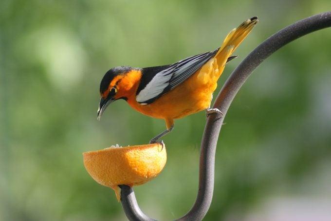 birds that eat oranges, fruit bird feeders
