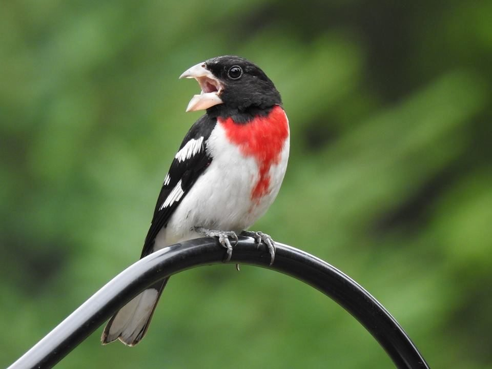 Rose Breasted Grossbeak Who Visits My Feeder Every Day :)