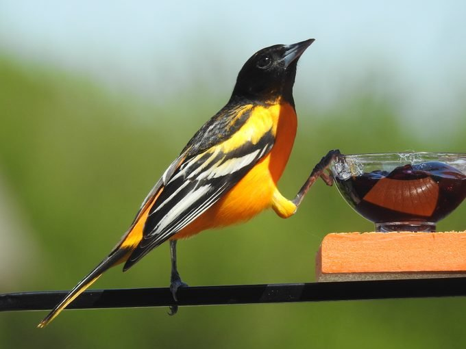what do orioles eat