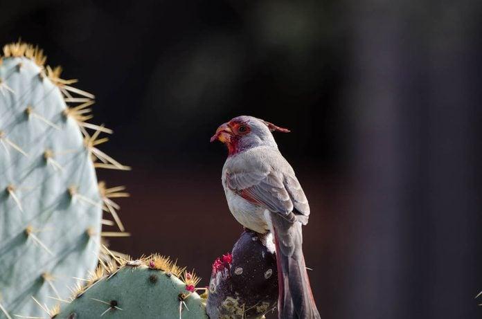 birds that look like cardinals, pyrrhuloxia