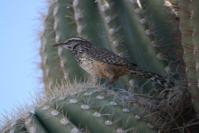 cactus wren, desert birds
