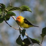10 Birds That Look Like Orioles