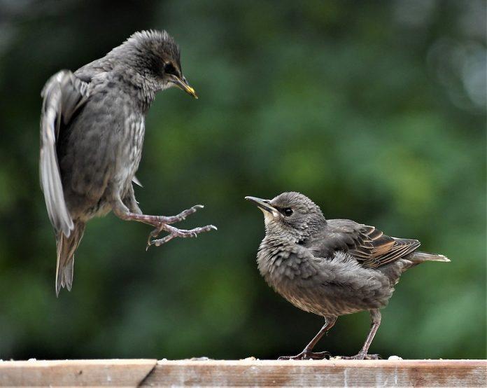 juvenile starlings
