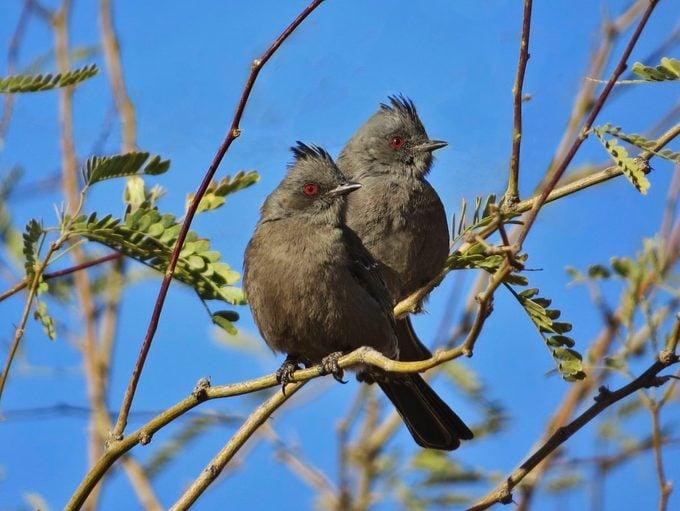 Phainopepla, desert birds