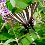 Look for Zebra Swallowtail Butterflies in Southern States