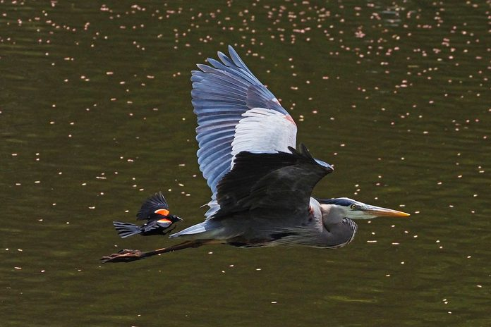 red winged blackbird and great blue heron