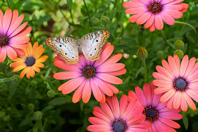 White peacock butterfly on an African daisy