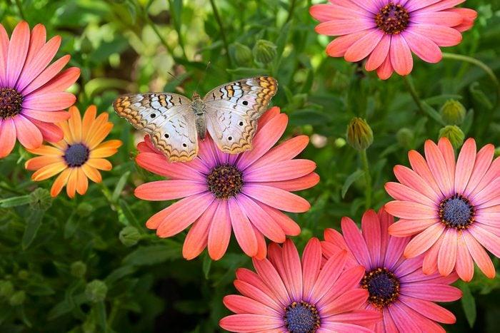 pollinator garden, White peacock butterfly on an African daisy