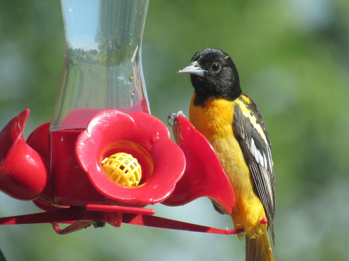 oriole hummingbird feeder