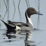 20 Types of Ducks to Look for This Spring