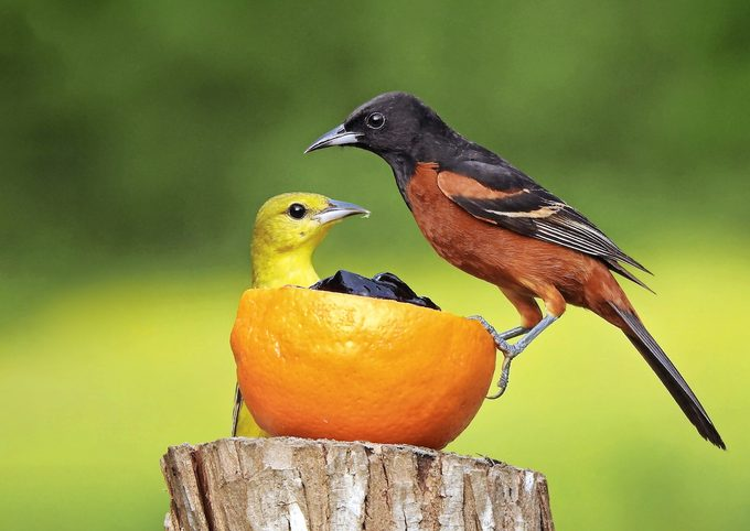 male and female orchard oriole