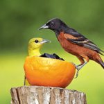 How to Identify Orchard Orioles