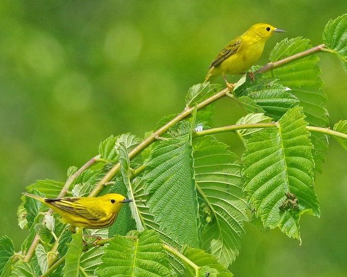 yellow warbler vs goldfinch