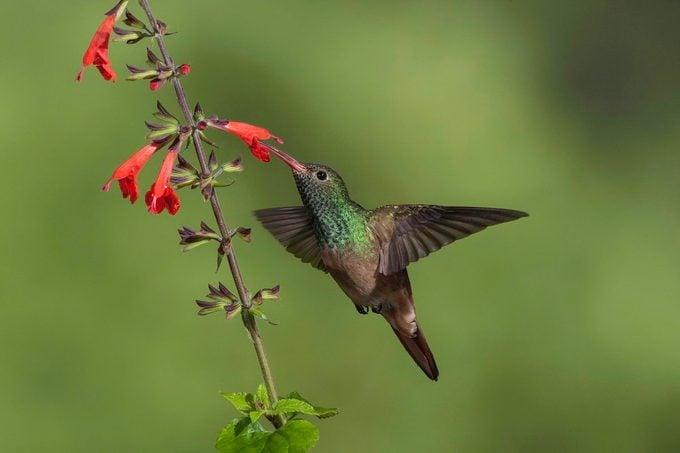 buff bellied hummingbird, rio grande valley birds