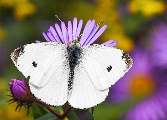 An adult cabbage white butterfly landing on a purple aster.