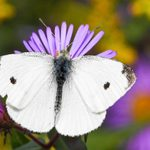 What Gardeners Should Know About the Cabbage White Butterfly