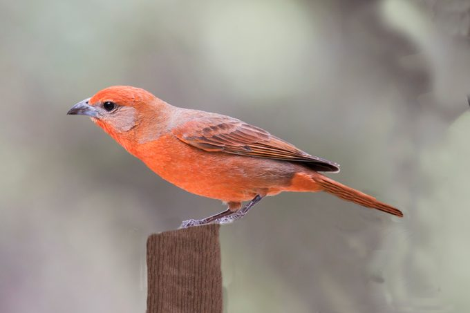 Hepatic Tanager male, tanager bird