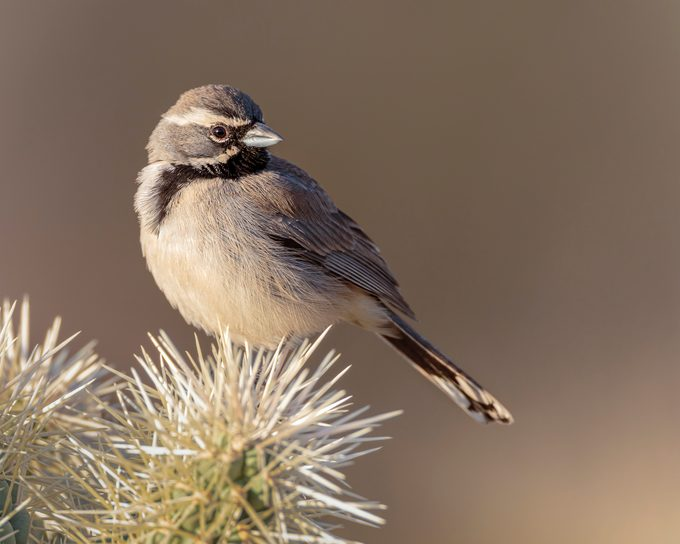 A black-throated sparrow sits on a cactus in Tucson, Arizona