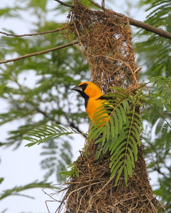Altamira Oriole in the Nest