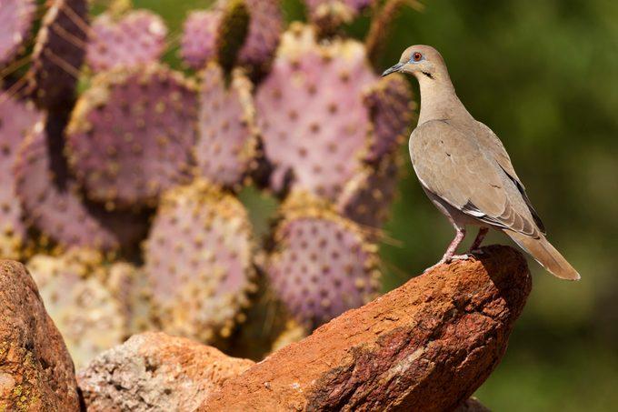 White-winged Dove, Zenaida asiatica, USA, Arizona