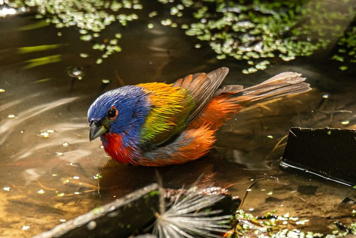 Painted Bunting by Phillip Murdaco