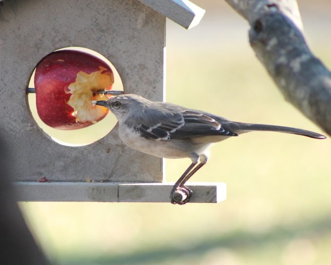 bird eating apple, what can birds eat