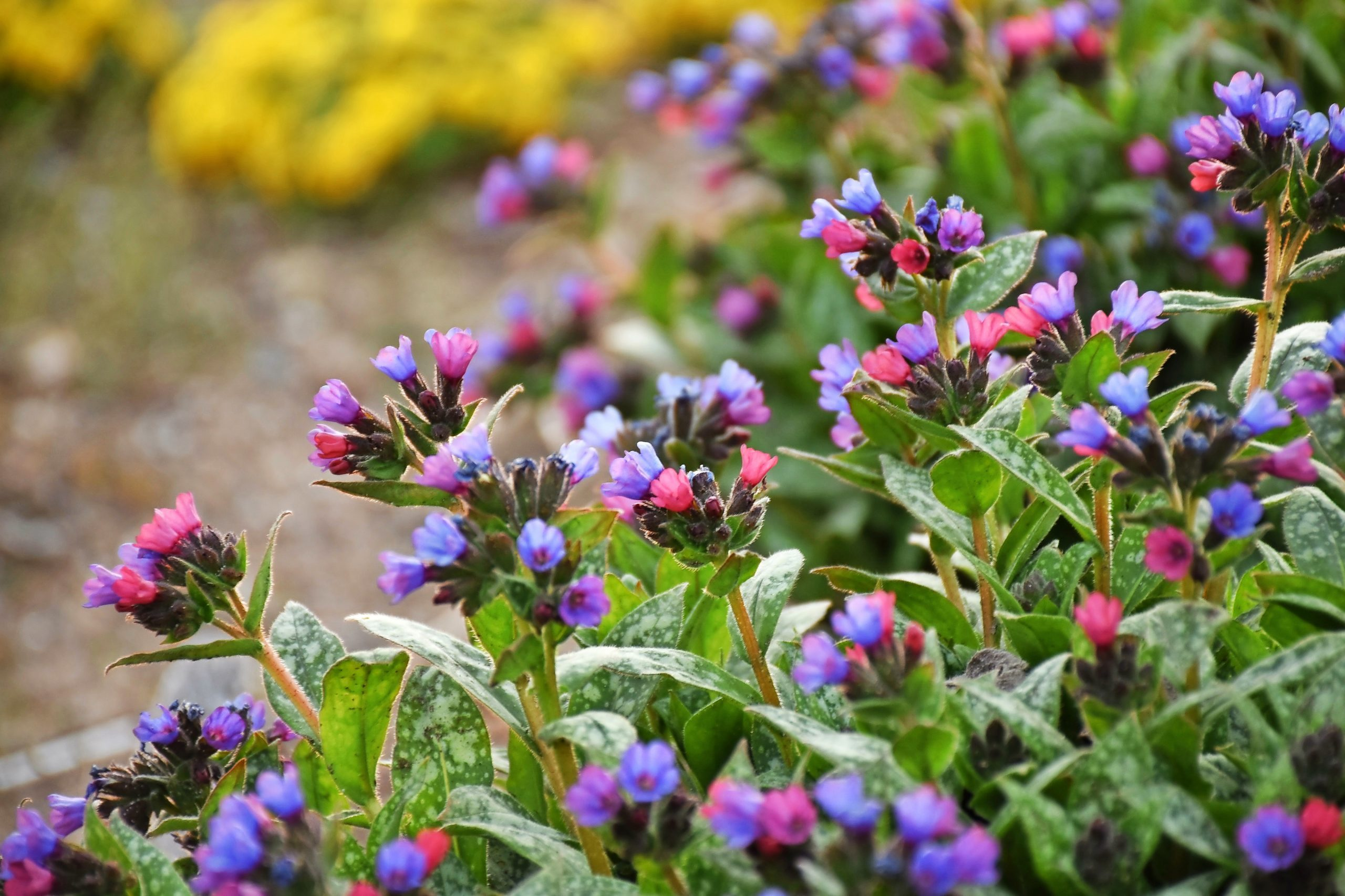 Spot On lungwort plant with pink and blue flowers.