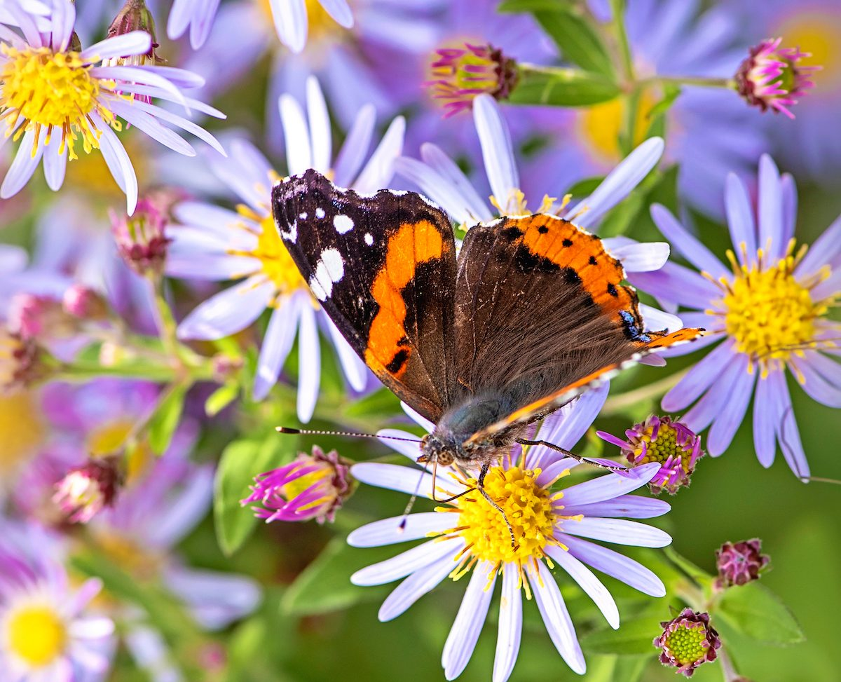 Beautiful Late Summer Flowering Aster Flowers Also Known As Symphyotrichum Or Michaelmass Daisy With A Red Admiral Butterfly Collecting Pollen