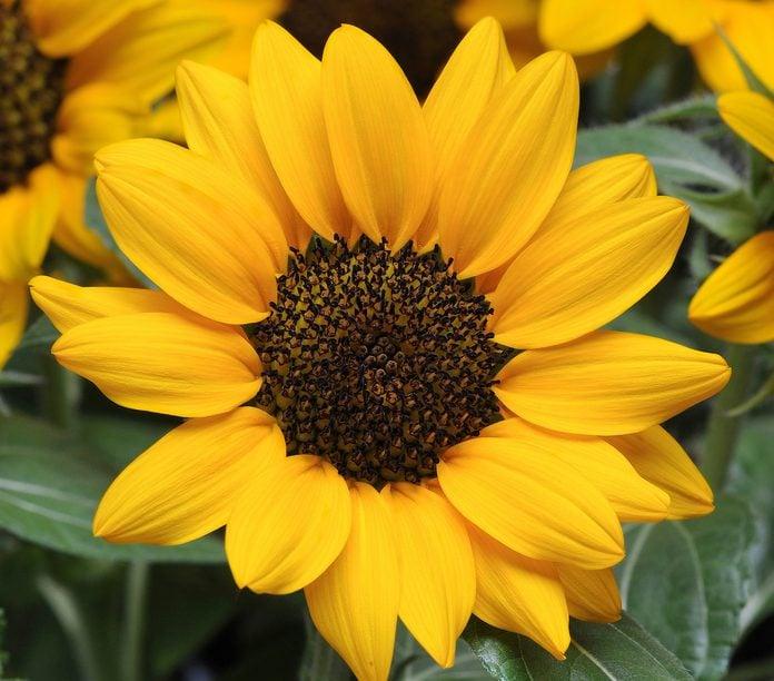 Native Plants Sunflower Miss Sunshine Bloom 4048